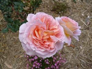 Rose Garden (2)