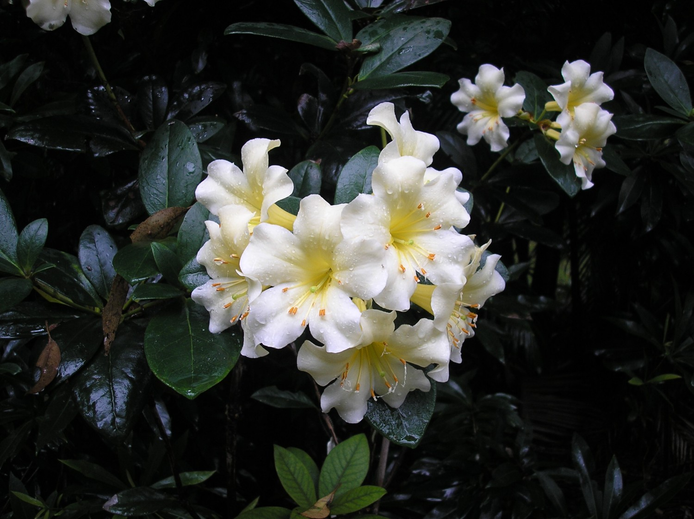 Rhododendron Gardens Tamborine Mountain Botanic Gardens