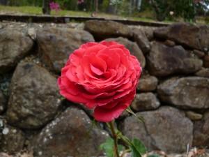 Rose Garden (4)