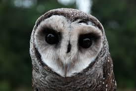 Sooty Owl Walk